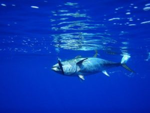マグロ釣り方