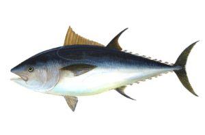 マグロ釣り
