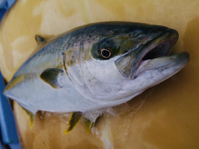 ジギングで釣れる魚と釣る方法【近海ジギング】